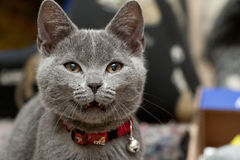Grey cat. Beautiful grey kitten showing it's teeth Royalty Free Stock Photography