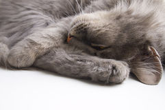 The  grey cat. Royalty Free Stock Photo