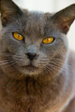 Grey cat. Photo of grey cat with yellowish eyes Stock Photos