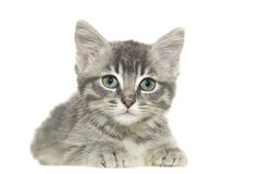 Grey cat. Young grey cat on white background stock images