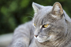 Grey Cat. Close up of a grey cat royalty free stock images