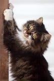 Grey cat Stock Photos