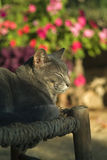 Grey cat. Sun bathing with closed eyes Stock Photography
