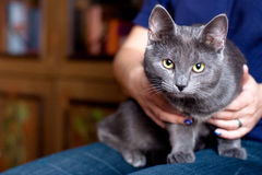Grey cat Royalty Free Stock Photography