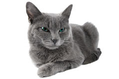 Grey cat. With green eyes lie on white background Stock Photos