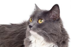 Grey cat Stock Image