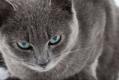 Grey cat Royalty Free Stock Image