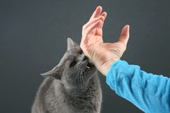 Grey cat aggressively biting the man`s hand