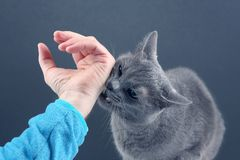 Grey cat aggressively biting the man`s hand. The grey cat aggressively biting the man`s hand stock photography