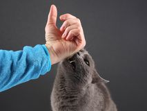 Grey cat aggressively biting the man`s hand. The grey cat aggressively biting the man`s hand royalty free stock images