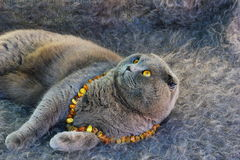 grey cat with amber eyes in the amber beads Stock Image