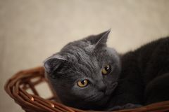 Grey Cat Basket Portrait interior natural light. Grey funny Cat Basket Portrait interior natural light Royalty Free Stock Image