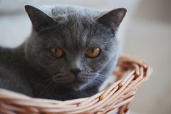 Grey Cat Basket Portrait interior natural light royalty free stock photos