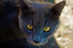 Grey cat with beautiful eyes. Grey cat with beautiful snake eyes are looking on you royalty free stock photo