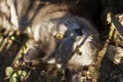 Grey cat with beautiful eyes. Grey cat with beautiful snake eyes are looking on you stock photo