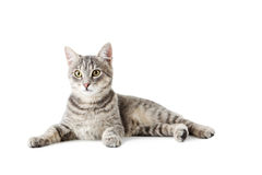 Grey cat Royalty Free Stock Photography