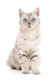 Grey cat. Royalty Free Stock Photo