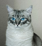 Grey cat with blue eyes Royalty Free Stock Image