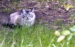 Grey cat with blue eyes. Sits among the green grass stock photos
