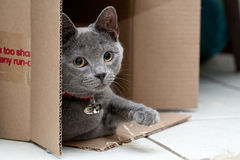 Grey cat in a box. Beautiful grey kitten in a cardboard box Stock Image