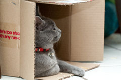 Grey cat in a box. Beautiful grey kitten in a cardboard box Stock Images