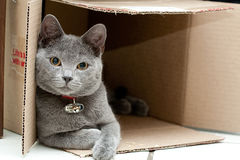 Grey cat in a box. Beautiful grey kitten in a cardboard box Stock Photo