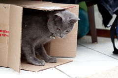 Grey cat in a box. Beautiful grey kitten in a cardboard box Royalty Free Stock Photo