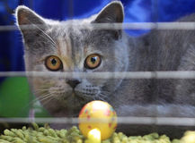Grey cat in a cage Royalty Free Stock Images