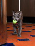Grey cat carrying a ball as though he were a dog. A three-month old kitten approaching the camera, playing fetch as if he was a dog. He has learnt this behaviour Royalty Free Stock Photography