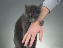 Grey cat clasped his paws a man`s hand royalty free stock images