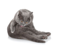 Grey cat cleaning fur Stock Photo