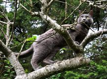 Grey cat climbing a tree Royalty Free Stock Photography