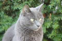 Grey cat close up. Royalty Free Stock Image