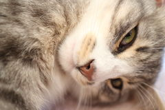 A grey cat Royalty Free Stock Photography
