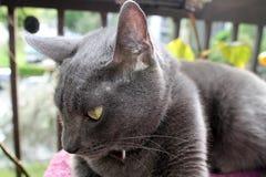 Grey cat in closeup Stock Image