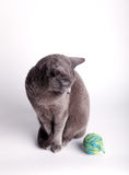 Grey cat contemplating a ball of wool. Grey cat sitting looking down at, and contemplating playing with, a ball of blue wool Royalty Free Stock Photography
