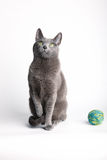 Grey cat contemplating a ball of wool. Grey cat sitting looking down at, and contemplating playing with, a ball of blue wool Royalty Free Stock Photos