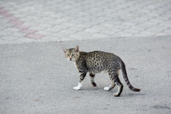 Grey Cat Crossing die Straßen-Straße Lizenzfreies Stockbild