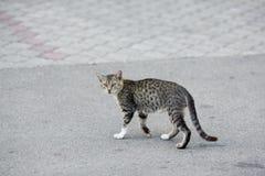 Grey Cat Crossing la calle del camino Imagen de archivo libre de regalías
