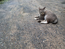 Grey Cat Crouching immagine stock