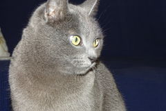 Grey cat in detail Stock Image