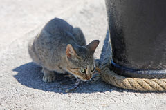 Grey cat eating fish Royalty Free Stock Photography