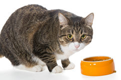 Grey cat eats dry food Royalty Free Stock Photography