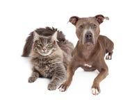Grey Cat en Hond die samen leggen Stock Foto