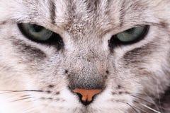 Grey cat face Stock Photo