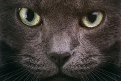 Grey cat face closeup with green eyes. British cat royalty free stock photos