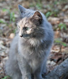 Grey Cat in the Fall Foliage Royalty Free Stock Photos