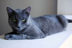 Grey cat Stock Photography