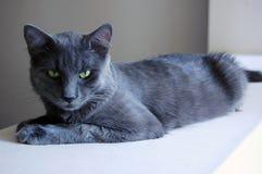 Grey cat Stock Photography