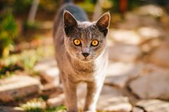 Grey cat in garden with yellow eyes. Grey furm yellow eyes staring cat portrait in garden with shallow depth of field Royalty Free Stock Images